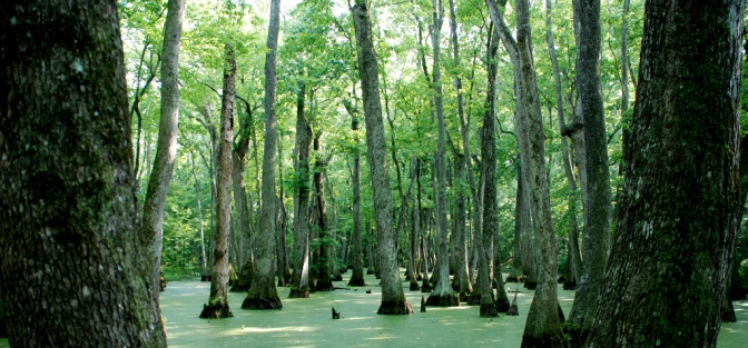 cypress-swamp-flickr-peterme
