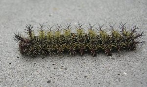 buckmoth caterpillar via earthwatch2.org