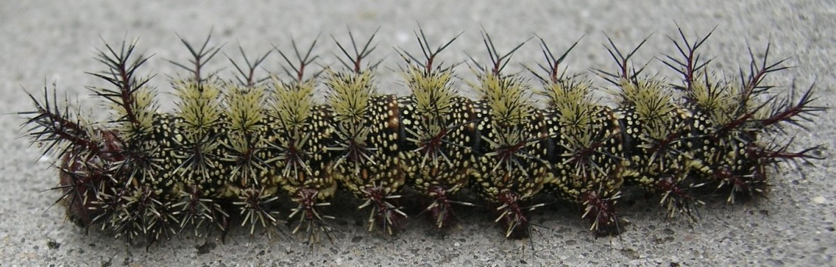 Beware of stinging caterpillars in New Orleans
