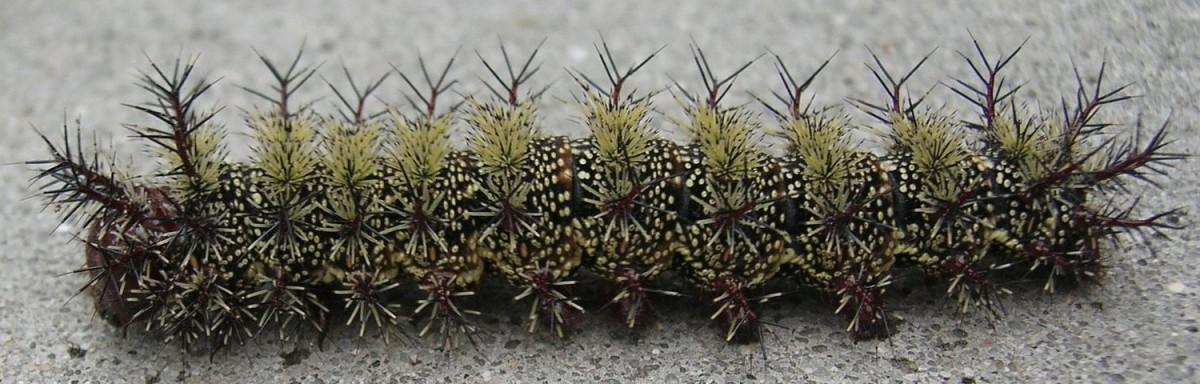 Beware of stinging caterpillars in New Orleans