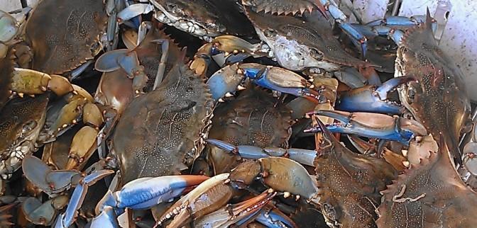 fresh crabs for sale at Westwego Shrimp Lot (photo by Carlie Kollath Wells/New in NOLA)